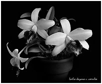 Laelia dayana v. coerulea. A species orchid ( black and white)