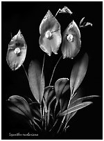 Lepanthes escobariana. A species orchid (black and white)