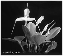 Masdevallia pallida. A species orchid (black and white)