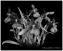 Miltonia spectabilis v. Morelliana. A species orchid (black and white)