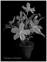 Neocognauxia hexaptera. A species orchid (black and white)
