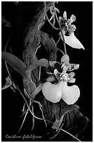 Oncidium globuliferum. A species orchid (black and white)