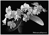 Phalaenopsis philippinensis. A species orchid (black and white)