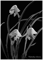 Polystachya vulcanica. A species orchid (black and white)