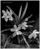 Pteroceras semiteretifolium. A species orchid (black and white)