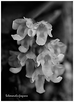 Schoenorchis fragrans. A species orchid (black and white)