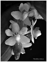 Tuberolabium kotoense. A species orchid (black and white)
