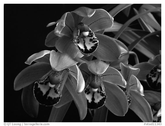 Cymbidium Cherry Cola. A hybrid orchid (black and white)