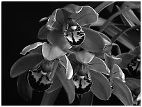 Cymbidium Cherry Cola. A hybrid orchid ( black and white)