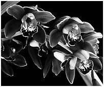 Cymbidium Crackerjack 'Midnight Magic'. A hybrid orchid (black and white)