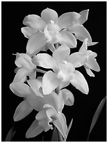 Cymbidium Enzan Delight 'Fluorish'. A hybrid orchid (black and white)