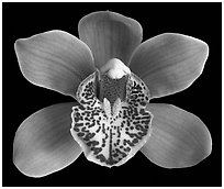 Cymbidium Enzan Forest 'Majolica' Flower. A hybrid orchid (black and white)
