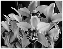 Cymbidium Hybrid. A hybrid orchid (black and white)