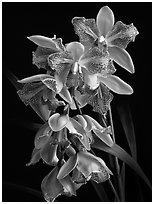 Cymbidium Isle 'Flamingo'. A hybrid orchid (black and white)