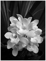 Cymbidium Janis Lin 'Emily Kate'. A hybrid orchid (black and white)