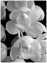 Cymbidium Mini Sarah 'Pearl Fall' Flowers. A hybrid orchid ( black and white)