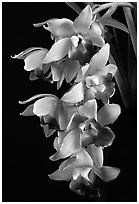 Cymbidium Pearl Dawson 'Procyon'. A hybrid orchid ( black and white)