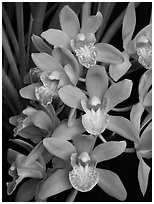 Cymbidium Sarah Jean 'Karen' Flowers. A hybrid orchid ( black and white)