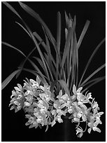 Cymbidium Saran Jean 'Karen'. A hybrid orchid ( black and white)