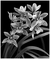 Cymbidium Starbright. A hybrid orchid (black and white)