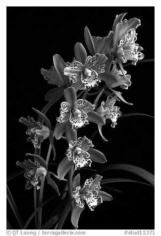 Cymbidium Strathdon 'Cooksbridge Fantasy''. A hybrid orchid (black and white)