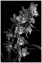 Cymbidium Strathdon 'Cooksbridge Fantasy''. A hybrid orchid ( black and white)