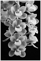 Cymbidium Sunshine Falls 'Butterball'. A hybrid orchid (black and white)