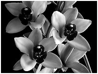 Cymbidium Yai 'Sweet Plum'. A hybrid orchid ( black and white)
