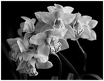 Cymbidium Fanfair. A hybrid orchid (black and white)