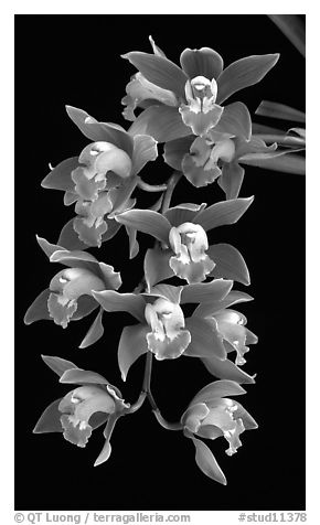 Cymbidium hybrid '12'. A hybrid orchid (black and white)