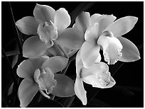 Cymbidium hybrid '21'. A hybrid orchid (black and white)