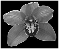 Cymbidium Claude Pepper 'Purple Splendor'. A hybrid orchid ( black and white)