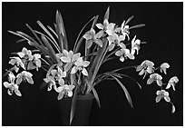 Cymbidium Rincon Lady 'Zita'. A hybrid orchid ( black and white)