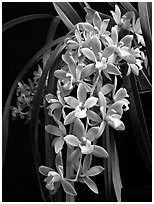 Cymbidium (Fifi x pumilum Album). A hybrid orchid ( black and white)