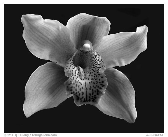 Cymbidium Astronaut 'Rajah' Flower. A hybrid orchid (black and white)