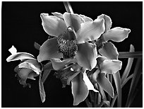 Cymbidium Astronaut 'Rajah'. A hybrid orchid ( black and white)