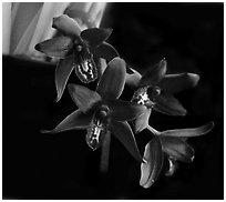 Cymbidium Australian Midnight. A hybrid orchid ( black and white)