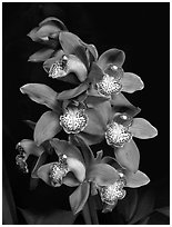Cymbidium Big Deal 'Debbie'. A hybrid orchid ( black and white)