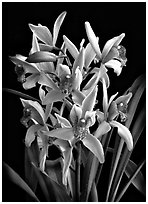 Cymbidium Cherry Blossom 'Profusion'. A hybrid orchid ( black and white)