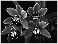 Cymbidium Cherry Cola 'Geyserland'. A hybrid orchid ( black and white)