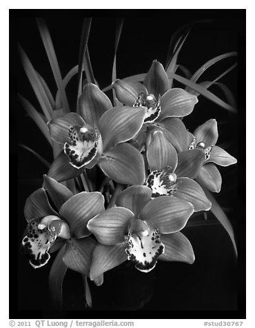 Cymbidium Claude Pepper 'Purple Splendor'. A hybrid orchid (black and white)