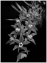 Cymbidium Devon Fire. A hybrid orchid ( black and white)