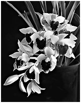 Cymbidium Devon Gala 'New Horizon'. A hybrid orchid ( black and white)