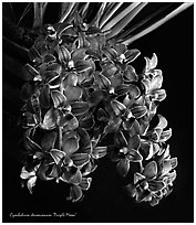 Cymbidium devonianum.  A species orchid. A hybrid orchid ( black and white)