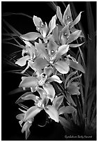 Cymbidium Early Harvest. A hybrid orchid (black and white)