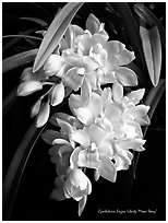 Cymbidium Enzan Liberty 'Moon Story'. A hybrid orchid ( black and white)