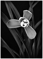 Cymbidium goeringii.  A species orchid.. A hybrid orchid ( black and white)