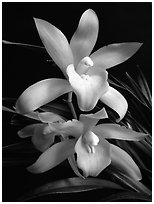 Cymbidium Golden Elf 'Sundust'. A hybrid orchid ( black and white)