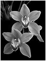 Cymbidium Helen Tangcay. A hybrid orchid (black and white)