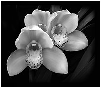 Cymbidium Hybrid '18'. A hybrid orchid ( black and white)